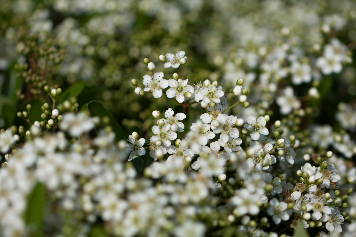 White flowers DOF
