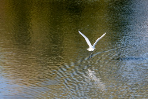 egret-fly-away