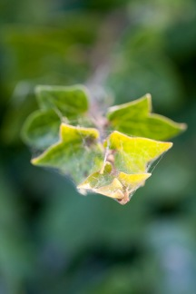 ivy-encased-in-web