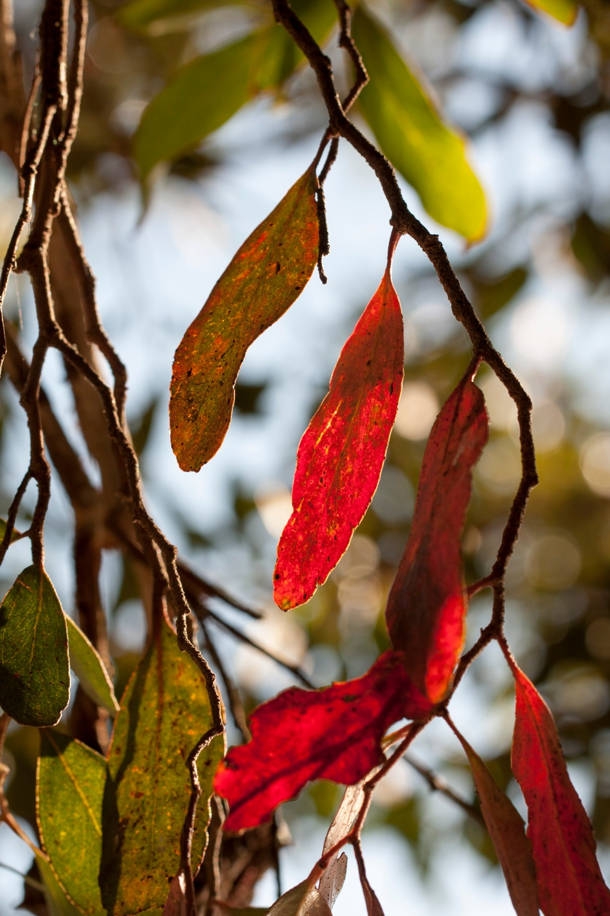 red-leaf-backlight