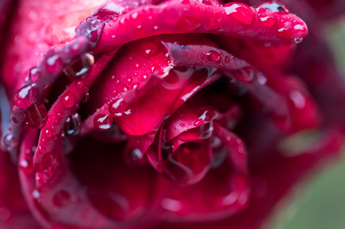 120816-deep-red-rose-with-drops