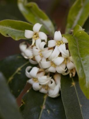 031317white pittosporum flowers