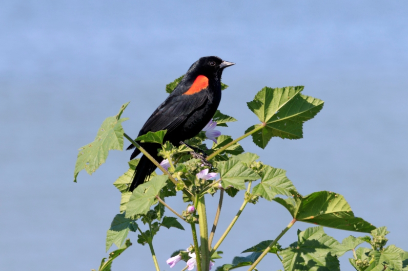 041917-redwing blackbird