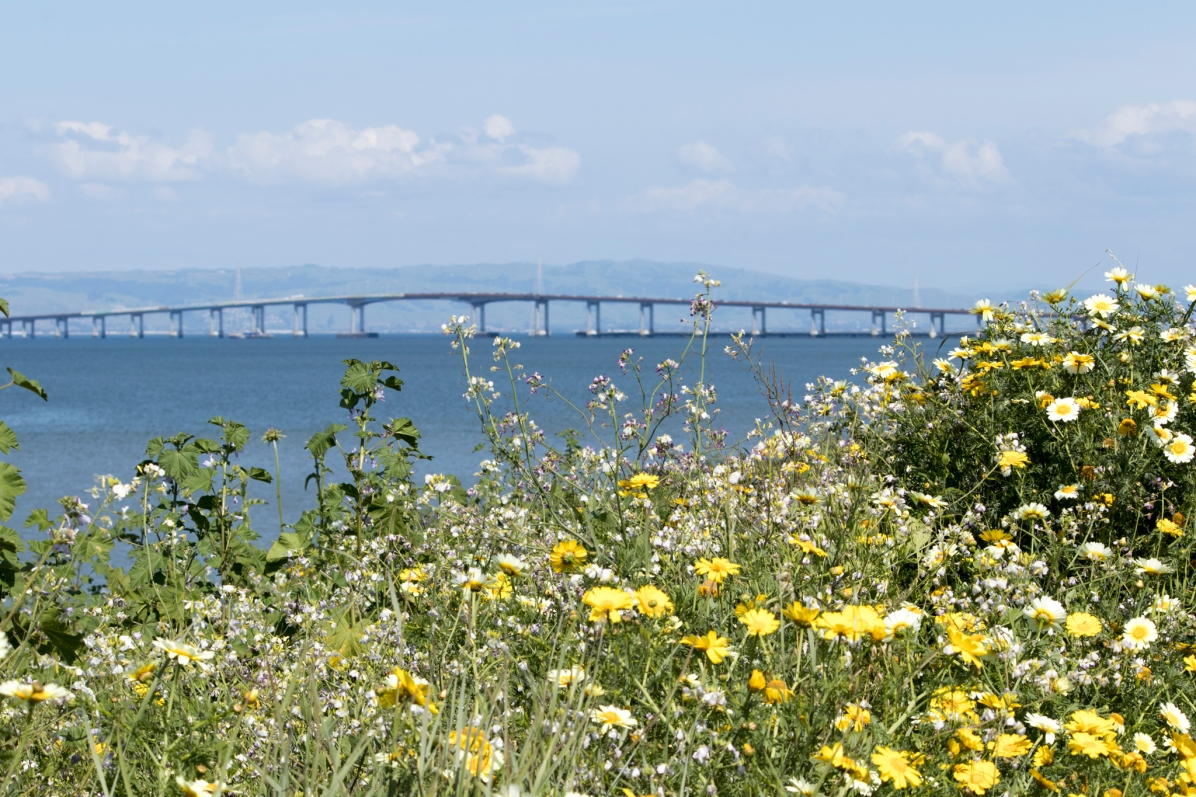 041917-wildflowers san mateo bridge