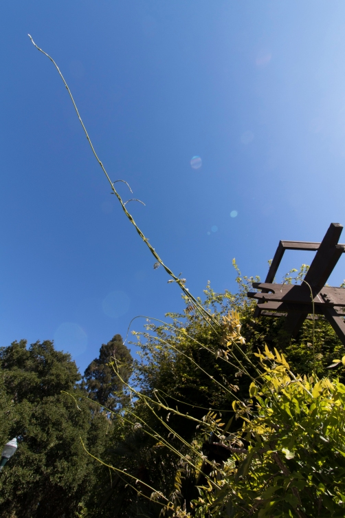reaching wisteria