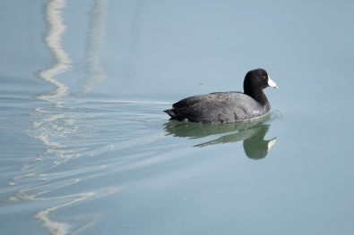 010118american coot
