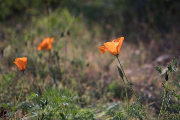 010118california poppy