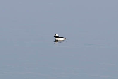 010118male bufflehead