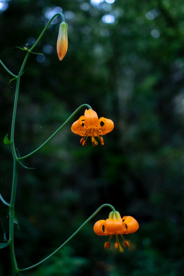 Jed Smith Lilium columbianum
